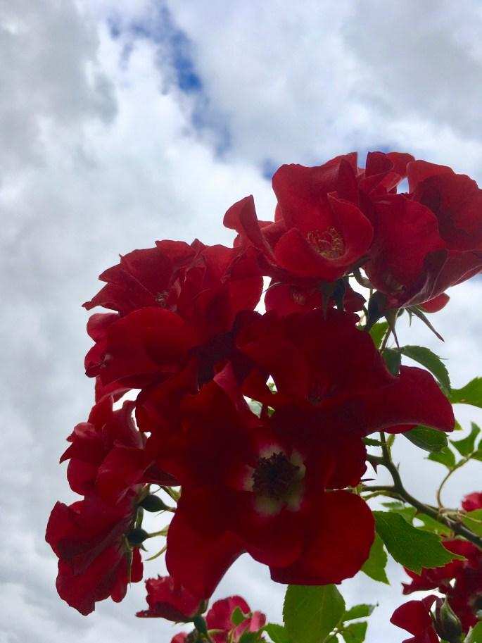 Wild roses against the sky by Jez Braithwaite