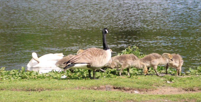 Canadian goose and goslings at Broadwood Loch by Jez Braithwaite