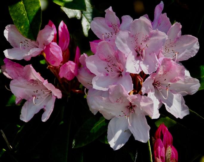 Rhododendron by Jez Braithwaite
