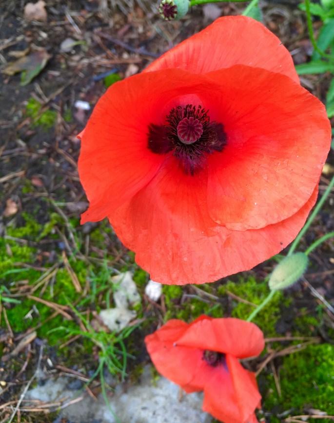 Poppy by Jez Braithwaite