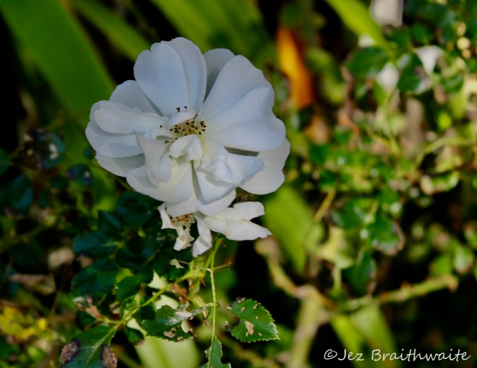 Wild white rose by Jez Braithwaite
