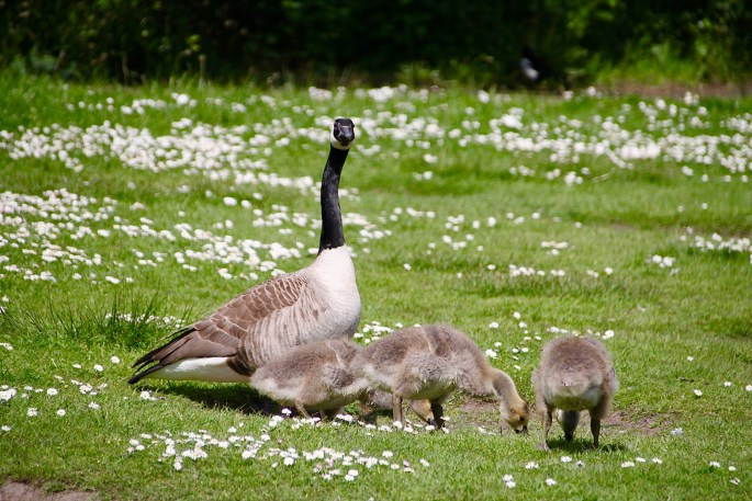 Canadian Goose and Goslings by Jez Braithwaite