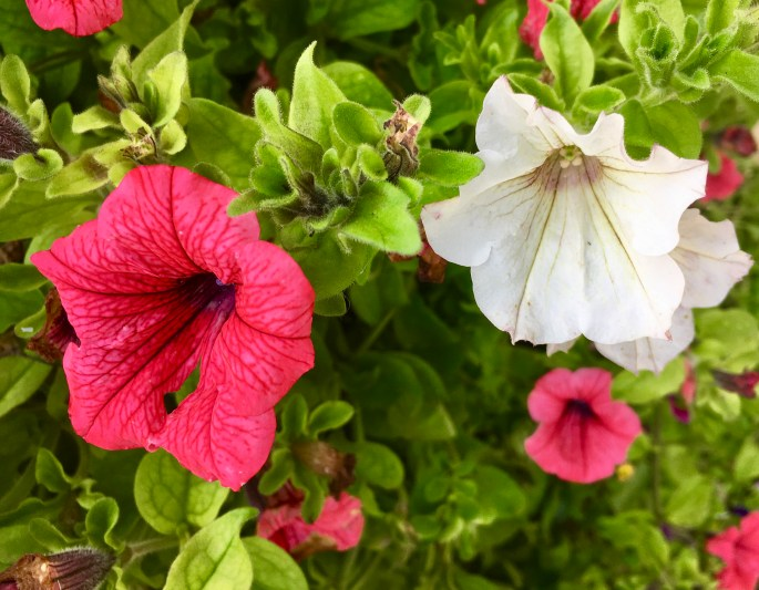 Pink and white petunias by Jez Braithwaite