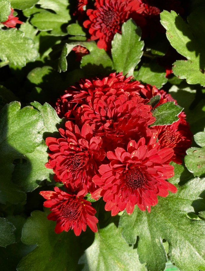 Red Chrysanthemum by Jez Braithwaite
