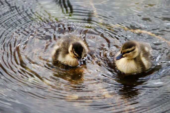 Two fluffy ducklings by Jez Braithwaite at Callender Park