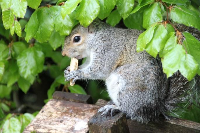 Squirrel eating biscuit by Jez Braithwaite