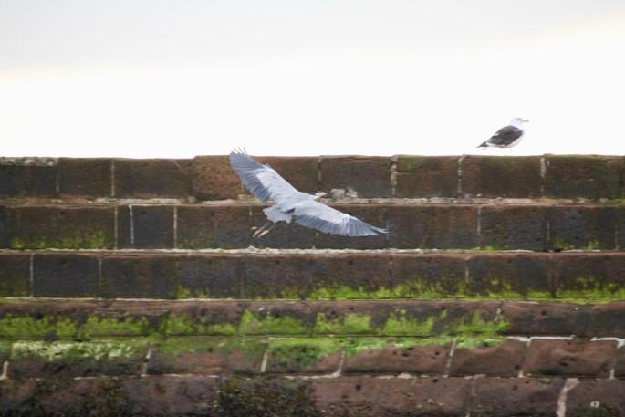 Great Blue Heron in Flight by Jez Braithwaite at Arbroath Harbour