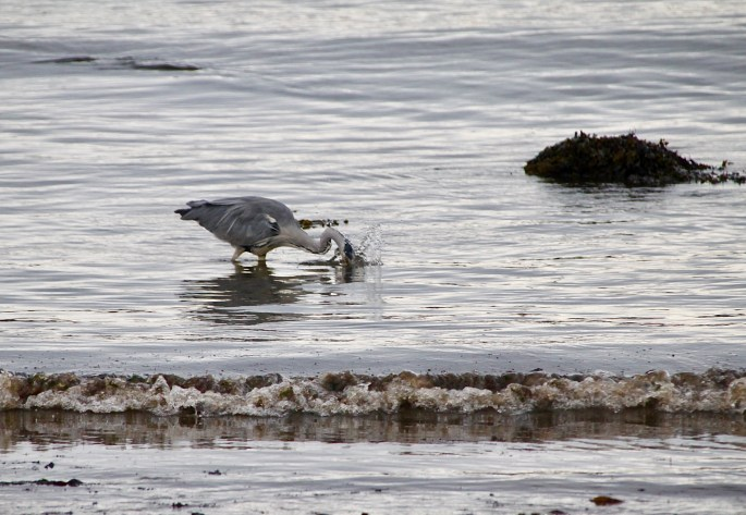 Great Blue Heron Fishing by Jez Braithwaite