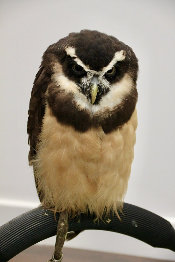 Spectacled Owl by Jez Braithwaite
