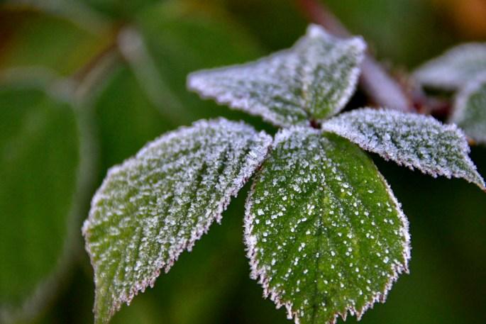 Icy leafs by Jez Braithwaite