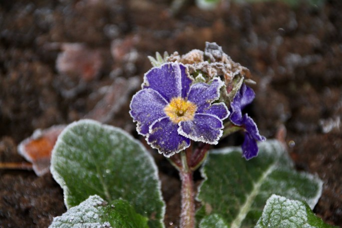 Frosty Purple Pansy by Jez Braithwaite
