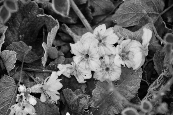 Frosty White Primrose in monochrome by Jez Braithwaite