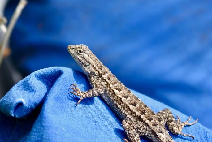Lizard in Malibu by Jez Braithwaite