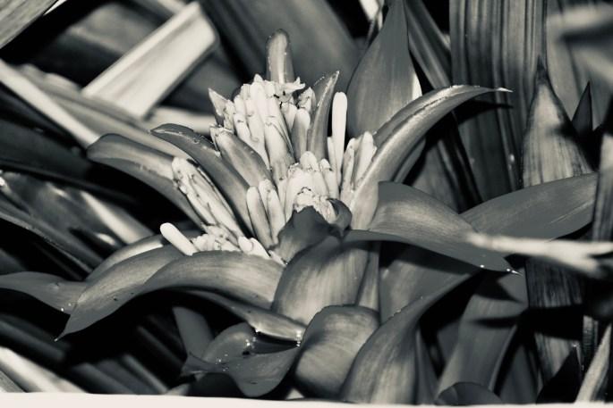Bromelia in silvetone by Jez Braithwaite