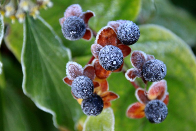 Frosty Berries by Jez Braithwaite