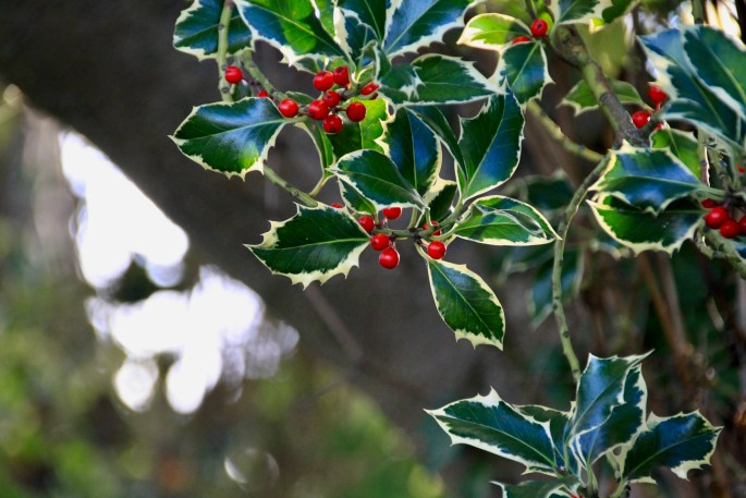 Holly leafs and berries by Jez Braithwaite