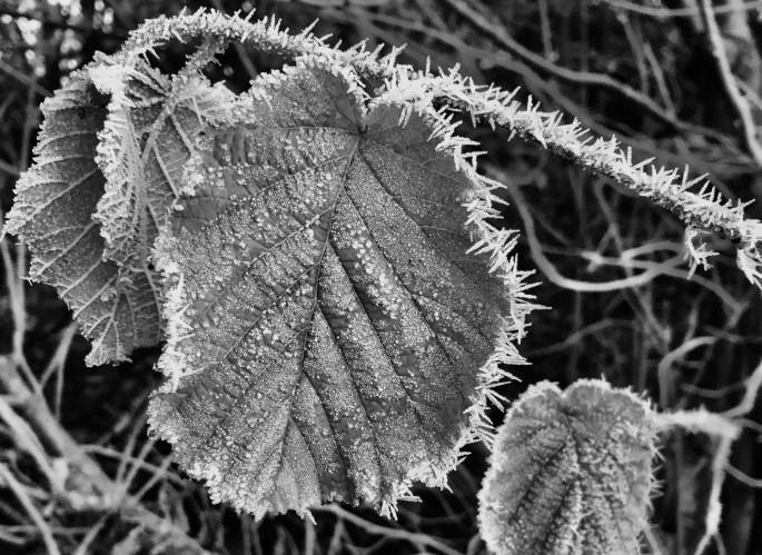 Icy leafs & stem in mono by Jez Braithwaite