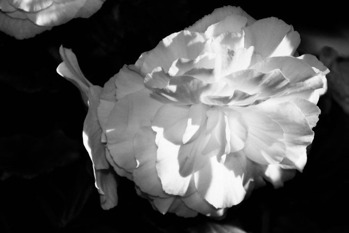 White begonia in noir