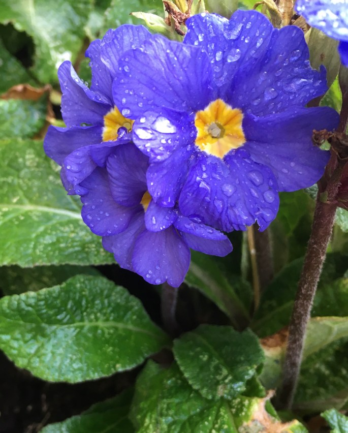 Blue primrose by Jez Braithwaite