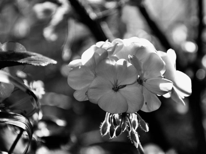 White geranium in noir