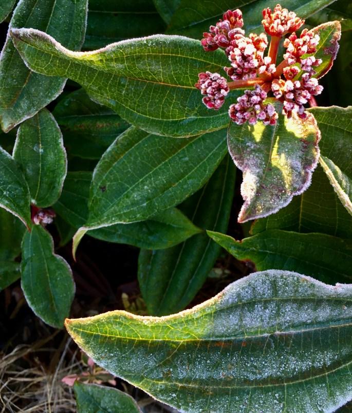 Frosty leafs