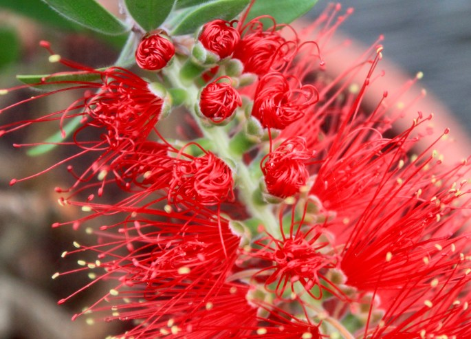 Unfurling bottle brush plant