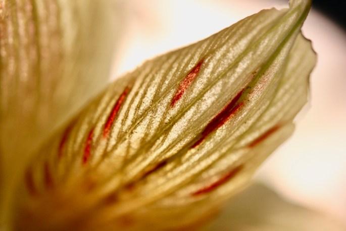 Alstroemeria petal