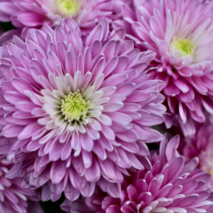 Purple chrysanth