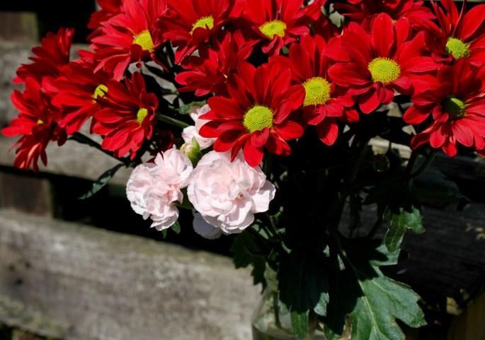 Red chrysanths