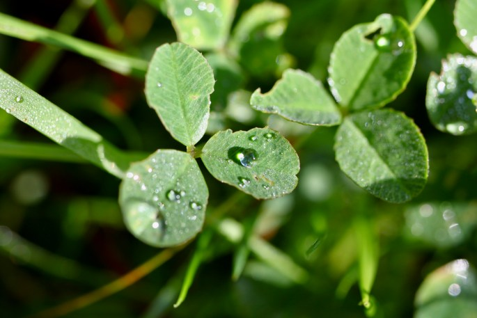 Clover with raindrops