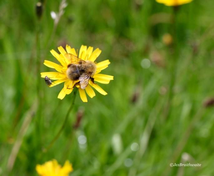 Bee & fly on a dandelion