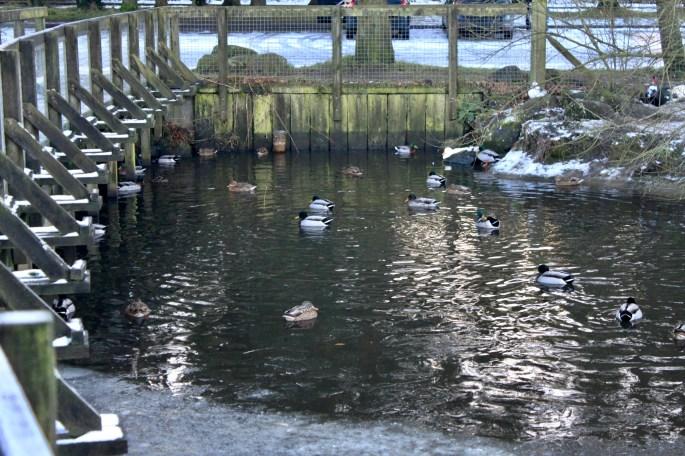 Mallard & Muscovy Ducks
