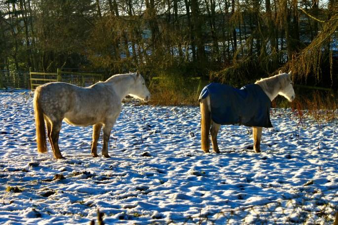 Horses & snow