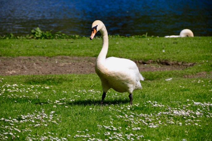 Swan at Broadwood Loch