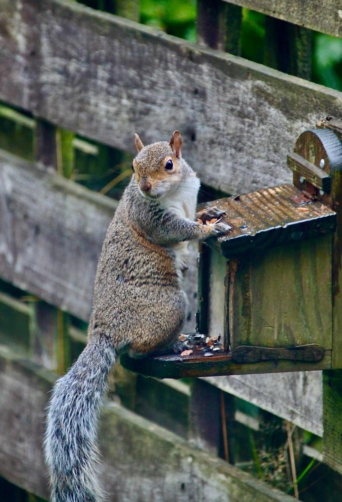 Squirrel checking behind
