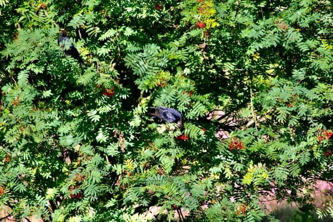 Ravens in a Rowan Tree