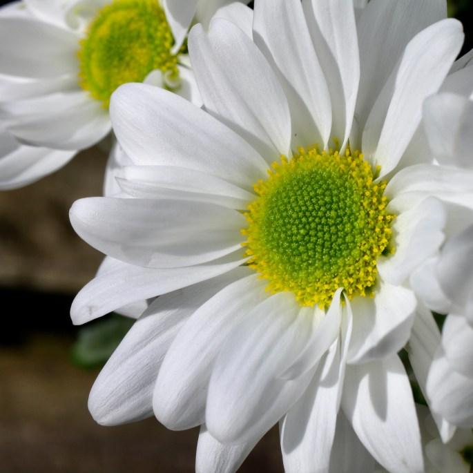 White chrysanth