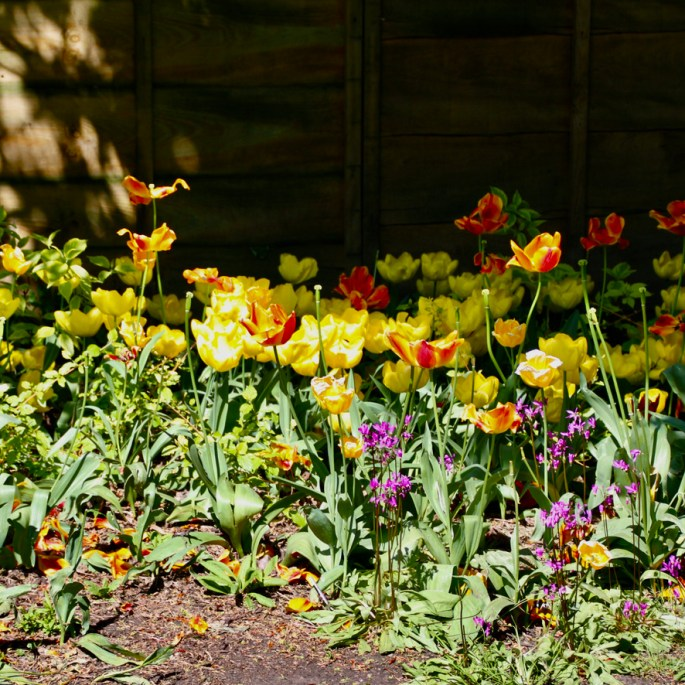 Tulips under a hedge