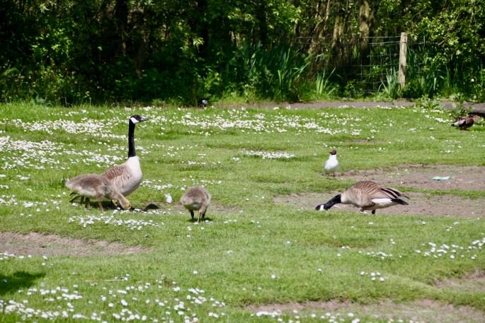 Goose, gosling & tern at Broadwood Loch