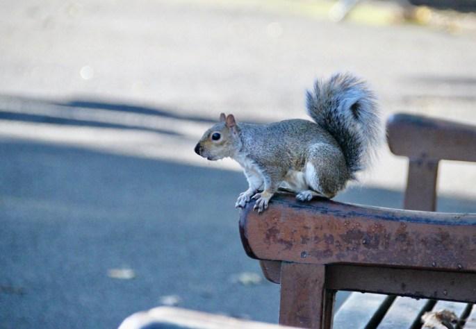 Squirrel in Glasgow Botanic Gardens