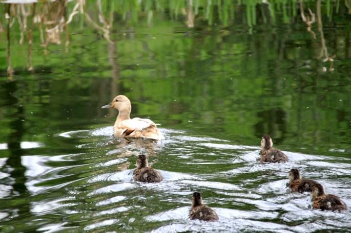 Mallard & ducklings
