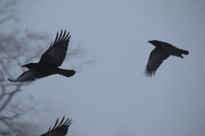 Ravens in the fog