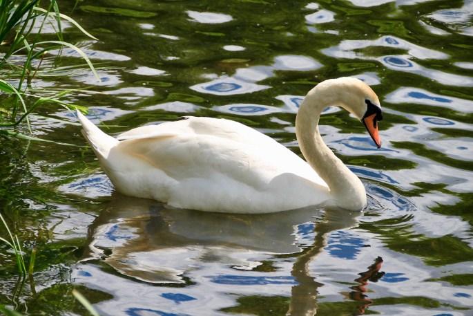 Swan amongst blue & green ripples