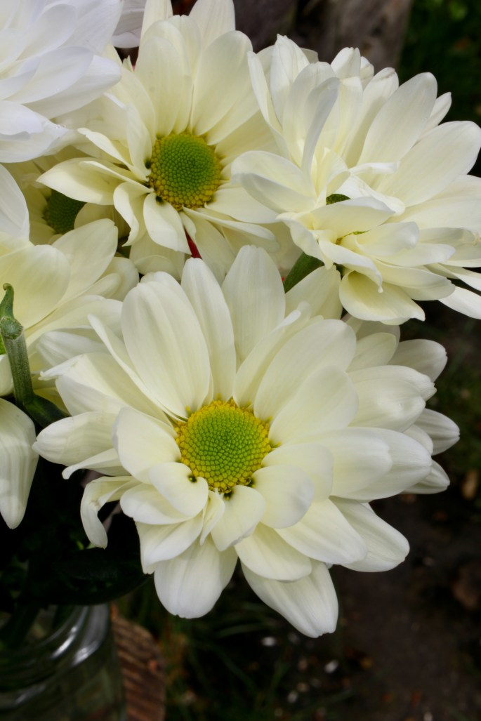Pale yellow chrysanths