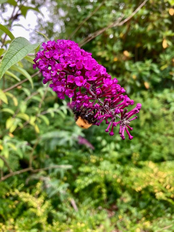 Butterfly bush & bee