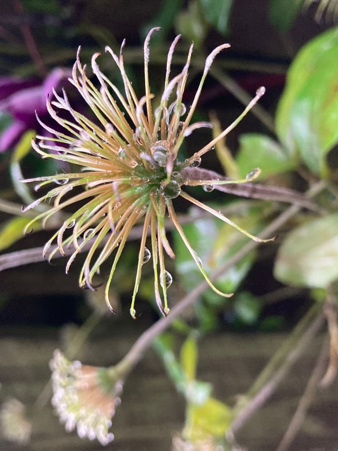 Old clematis heads