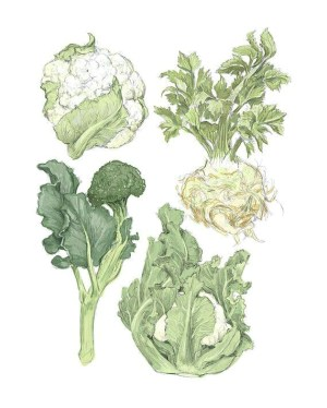 vegetable vegetables illustration winter drawing cauliflower easy draw illustrations botanical broccoli fruit drawings watercolor market celeriac reproduction wall rigel jf