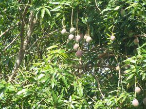 Kongbo mangue