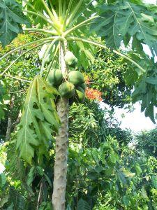 Kongbo papaye