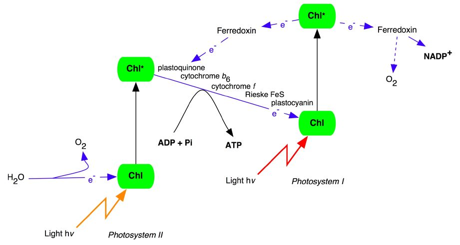 photosynthesis z scheme diagram airbag wiring manual the z-scheme of in plants